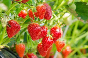 中国では果物と言えば「安価なもの」というイメージだ。実際、中国に行くと果物が安価で売られているのに驚くことがあるが日本では違う。日本では一部の果物は高級品で、贈答品の果物もあり、果物とは「おいしく、高級なもの」というイメージだ。(イメージ写真提供:123RF)